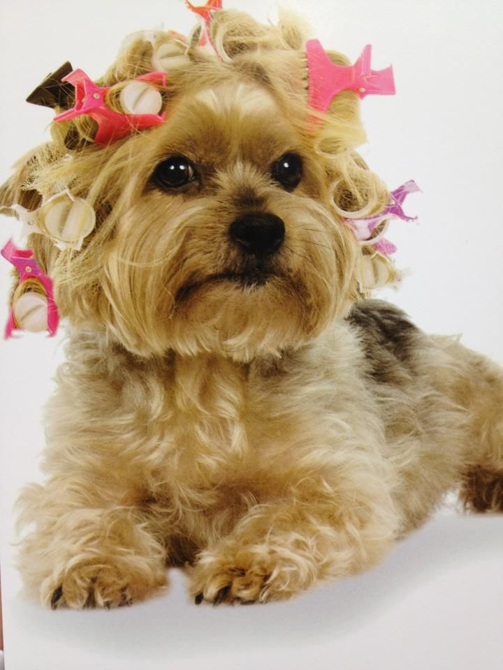164 best Yorkies- Funny and cute photos images on Pinterest