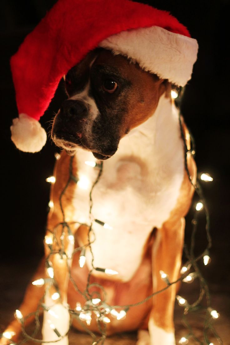 192 best Dogs Wrapped in Christmas Lights images on ...