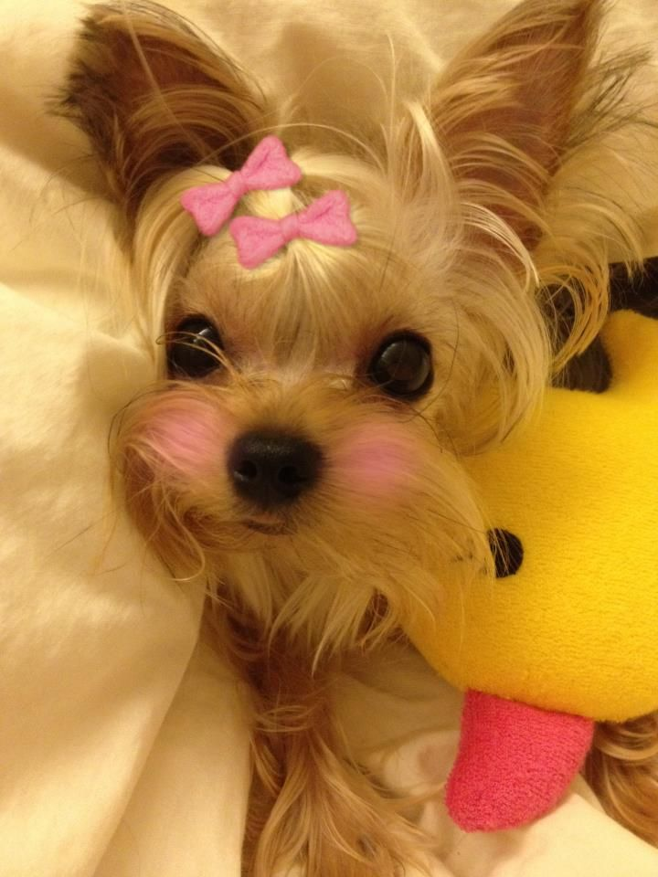 23 best Sweet Little Poochi images on Pinterest | Yorkies ...