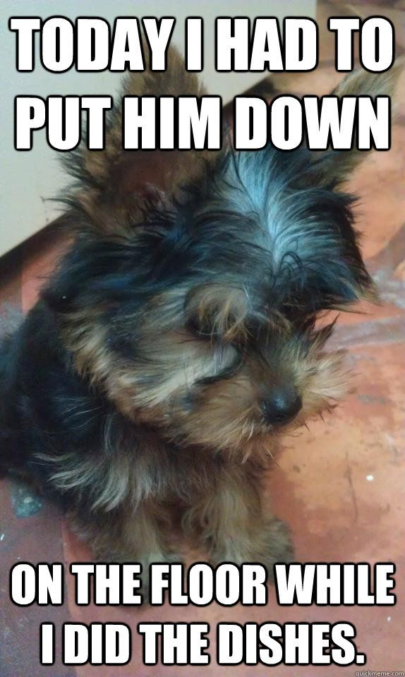 83 best images about Yorkshire Terrier on Pinterest ...